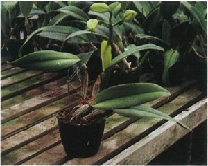 With sufficient light a cattleya should produce sturdy,upright new growths which do not require staking. Photo-graphy by Ned Nash.