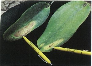 Heat build-up from too much light caused the yellow patches on these  cattleya leaves. Photography by Ned Nash.