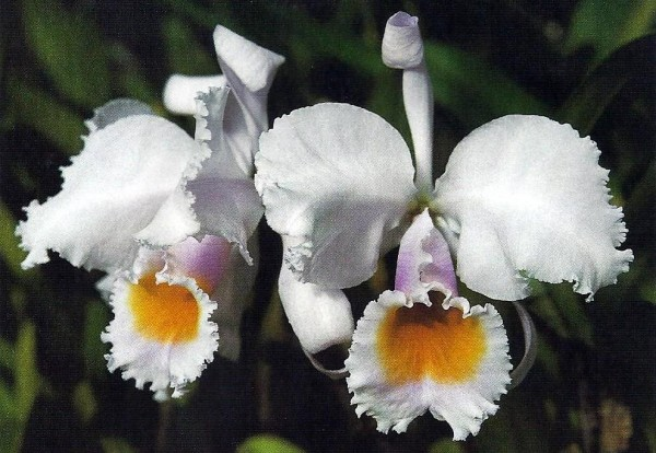 The typical Cattleya schroederae has well-shaped flowers with very pale lavender sepals and petals. Petals and lip are very frilly along the edges. Some flowers also have a curled back sepal.