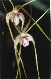 Among the color variation to be found within the flowers of Dendrobium capitisyork is this pale-colored form.