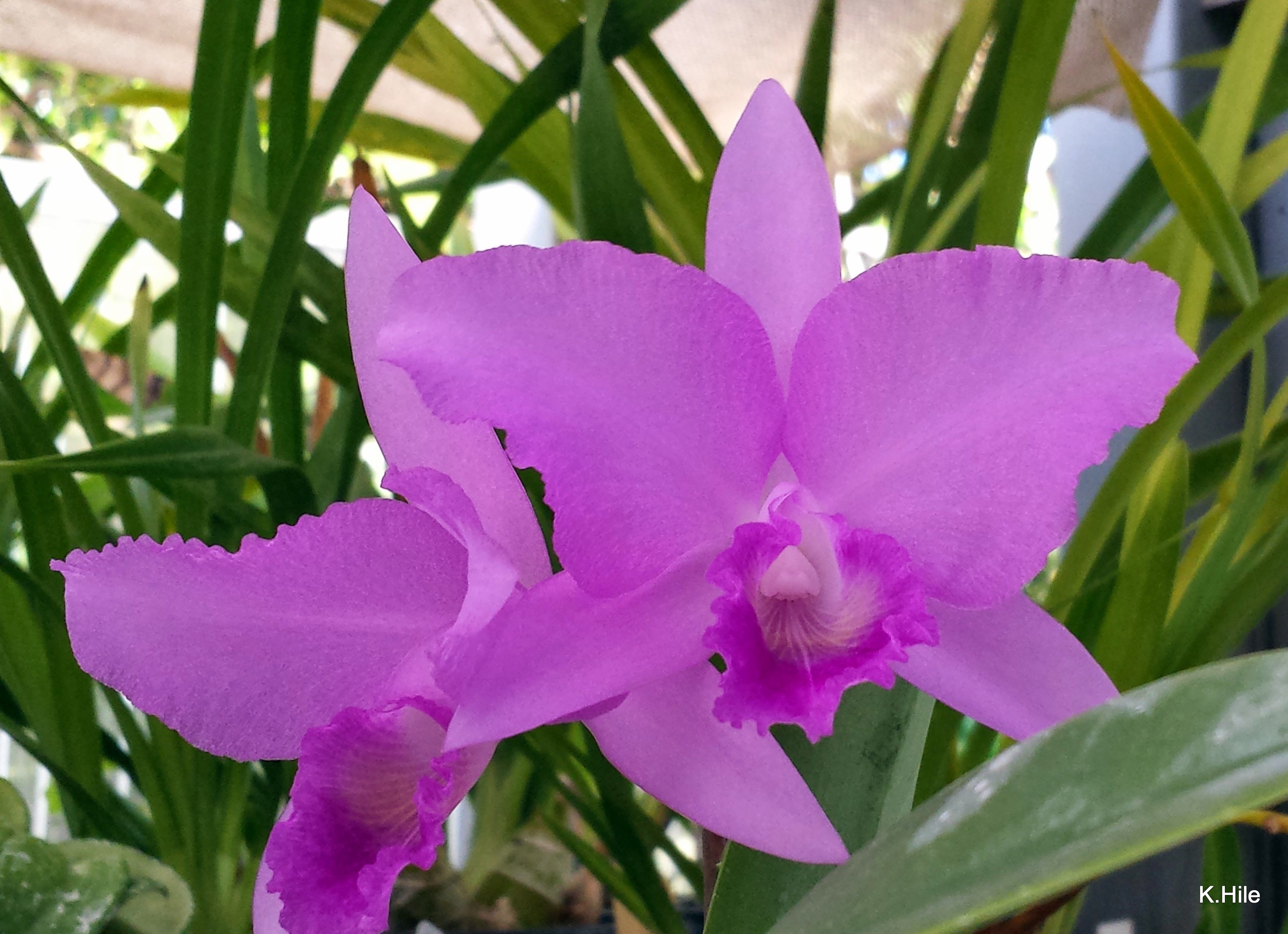 Cattleya culture sonoma county orchid society for Orchidea cattleya